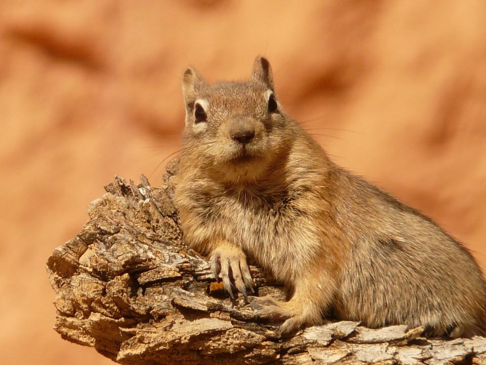 golden-mantled-ground-squirrel-4588_960_720
